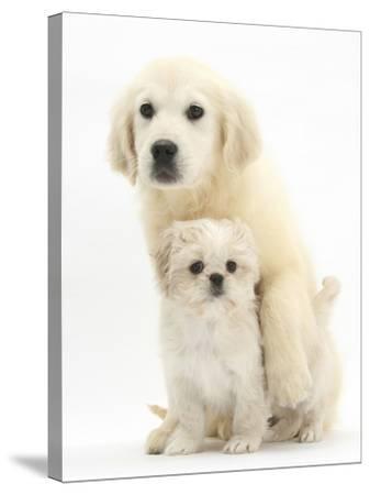 Golden Retriever Puppy, 16 Weeks, with Cream Shih-Tzu Puppy, 7 Weeks-Mark Taylor-Stretched Canvas Print