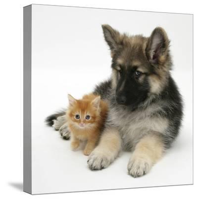 Ginger Kitten with German Shepherd Dog (Alsatian) Bitch Puppy, Echo-Mark Taylor-Stretched Canvas Print