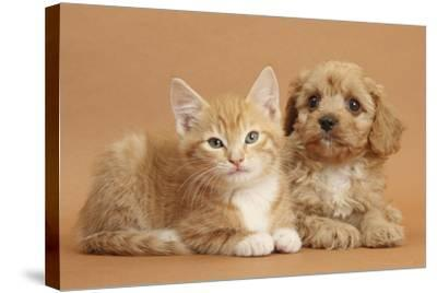 Cavapoo Puppy and Ginger Kitten-Mark Taylor-Stretched Canvas Print