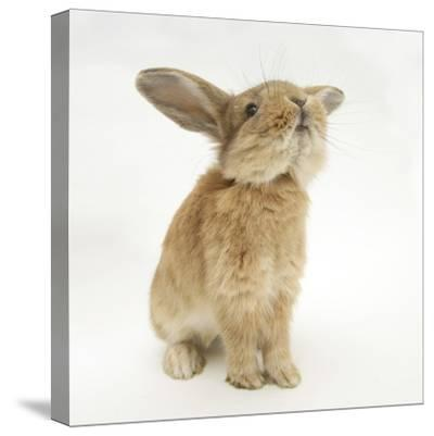 Lionhead-Cross Rabbit, Sniffing-Mark Taylor-Stretched Canvas Print