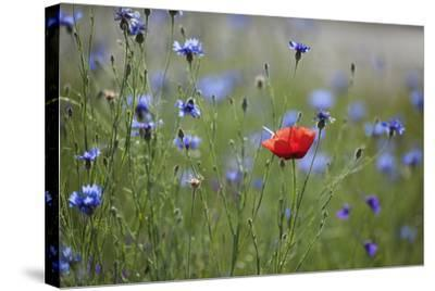 Red Poppy (Papaver Rhoeas) Brown Knapweed (Centaurea Jacea) and Forking Larkspur, Slovakia-Wothe-Stretched Canvas Print