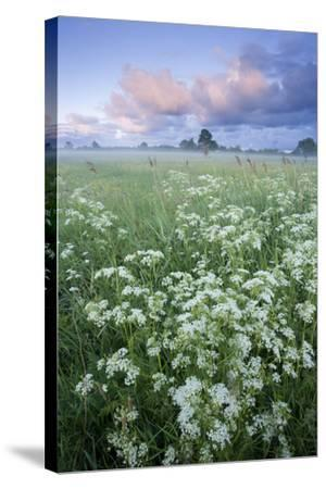 Cow Parsely (Anthriscus Sylvestris) in Meadow at Dawn, Nemunas Regional Reserve, Lithuania, June-Hamblin-Stretched Canvas Print