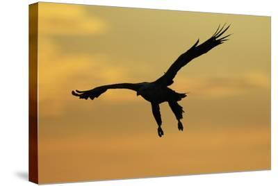 White Tailed Sea Eagle (Haliaeetus Albicilla) in Flight Silhouetted Against an Orange Sky, Norway-Widstrand-Stretched Canvas Print