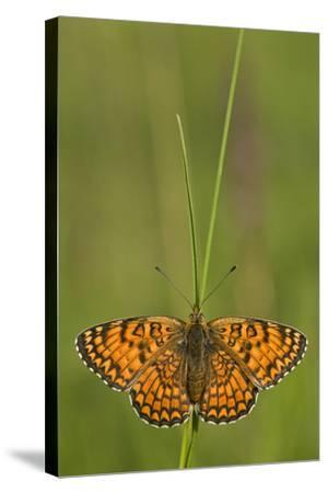 Glanville Fritillary Butterfly (Melitaea Cinxia) on Grass, Pollino Np, Basilicata, Italy, May-M?ller-Stretched Canvas Print