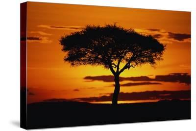 Silhouetted Camelthorn Tree at Sunset-Paul Souders-Stretched Canvas Print