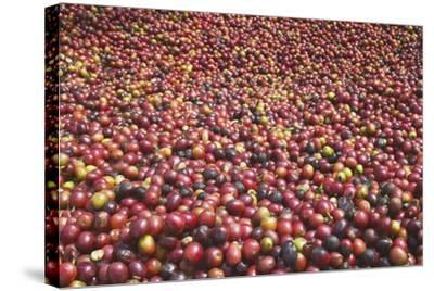 Coffee Cherries-Paul Souders-Stretched Canvas Print