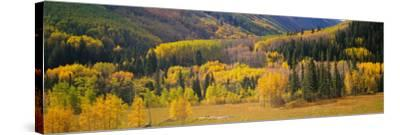 Aspen Trees in a Field, Telluride, San Miguel County, Colorado, USA--Stretched Canvas Print