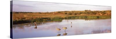 Sandhill Cranes (Grus Canadensis) in a Pond at a Celery Field, Sarasota, Sarasota County--Stretched Canvas Print
