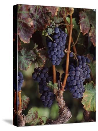 Cabernet Sauvignon Grapes in Vineyard, Wine Country, California, USA--Stretched Canvas Print
