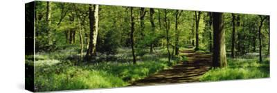 Bluebell Wood Yorkshire England--Stretched Canvas Print