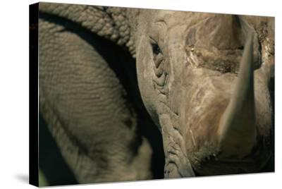 Close-Up of White Rhinoceros--Stretched Canvas Print