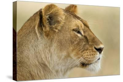 Lioness--Stretched Canvas Print