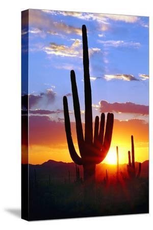 Saguaro Sunset-Douglas Taylor-Stretched Canvas Print