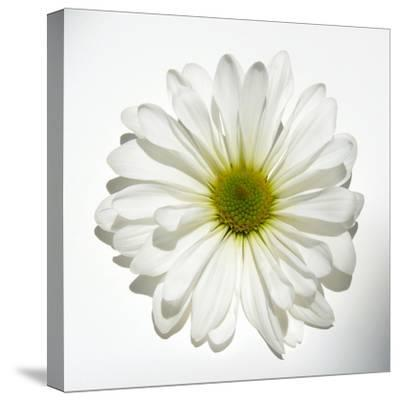 White Daisy-Gail Peck-Stretched Canvas Print