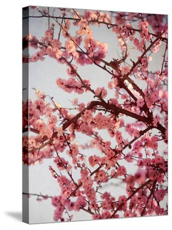Cherry Blossoms II-Susan Bryant-Stretched Canvas Print
