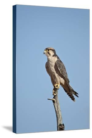 Lanner Falcon (Falco Biarmicus)-James Hager-Stretched Canvas Print