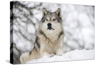 North American Timber Wolf (Canis Lupus) in Forest-Louise Murray-Stretched Canvas Print