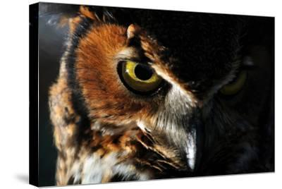 Portrait of a Great Horned Owl, Bubo Virginianus-Keith Ladzinski-Stretched Canvas Print