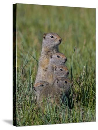 Uinta Ground Squirrels are Common Rodents in the Dry Meadows of Northern Yellowstone-Tom Murphy-Stretched Canvas Print