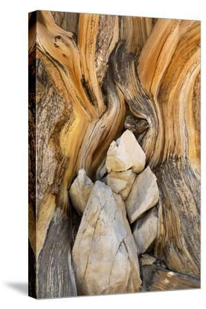 USA, California, Inyo NF. Patterns in bristlecone pine wood.-Don Paulson-Stretched Canvas Print