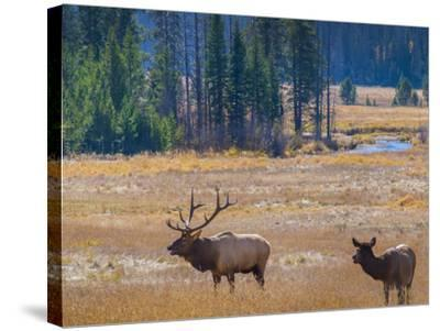 USA, Colorado. Elk in Rocky Mountain National Park.-Anna Miller-Stretched Canvas Print