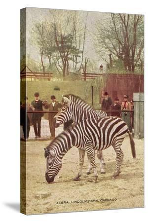 Zebras at Lincoln Park Zoo--Stretched Canvas Print