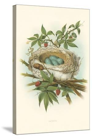 Catbird Nest and Eggs--Stretched Canvas Print