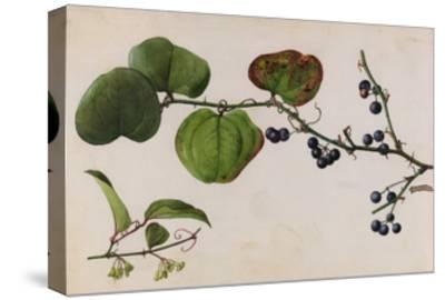 A Sprig of Roundleaf Greenbrier Shrub Blossoms and Berries-Mary E. Eaton-Stretched Canvas Print