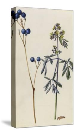 A Sprig of Blue Cohosh Plant Berries and Blossoms-Mary E. Eaton-Stretched Canvas Print