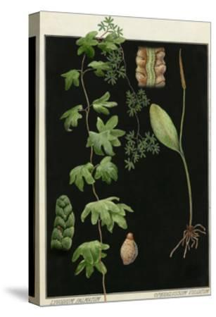 Painting of Southern Adderstongue and American Climbing Fern-E.J. Geske-Stretched Canvas Print