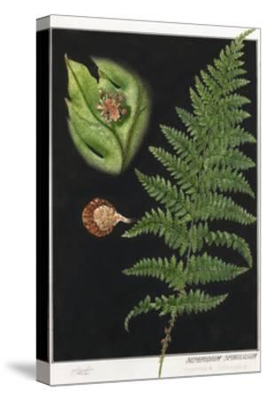 Painting of a Intermediate Woodfern, Dryopteris Intermedia-E.J. Geske-Stretched Canvas Print