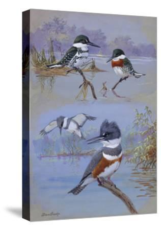 A Painting of Two Belted Kingfishers and Two Texas Green Kingfishers-Allan Brooks-Stretched Canvas Print