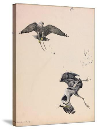 A Painting of a Falcon Striking a Heron in Midair-Louis Agassi Fuertes-Stretched Canvas Print