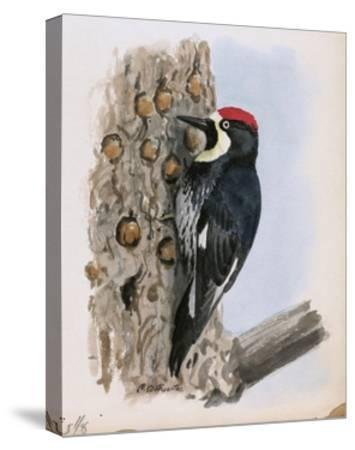 A Painting of a California Woodpecker Clinging to a Tree Trunk-Louis Agassi Fuertes-Stretched Canvas Print
