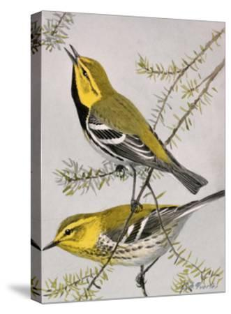 A Painting of a Pair of Black-Throated Green Warblers-Louis Agassi Fuertes-Stretched Canvas Print