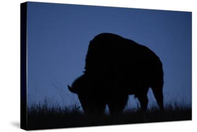 A Silhouetted American Bison, Bison Bison, Grazing at Twilight-Michael Forsberg-Stretched Canvas Print