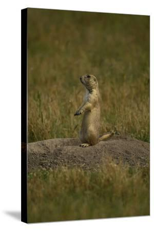 A Black-Tailed Prairie Dog, Cynomys Ludovicianus, at the Entrance to its Burrow-Michael Forsberg-Stretched Canvas Print
