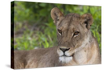 Close Up Portrait of a Lioness, Panthera Leo, Resting-Sergio Pitamitz-Stretched Canvas Print