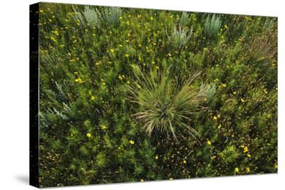 Greenthread, Navajo Tea, or Hopi Tea, Thelesperma Filifolium, in Bloom, and a Clump of Grass-Michael Forsberg-Stretched Canvas Print
