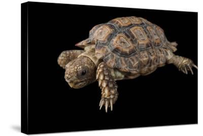 A Speckled Cape Tortoise, Homopus Signatus Signatus, at the Omaha Zoo-Joel Sartore-Stretched Canvas Print