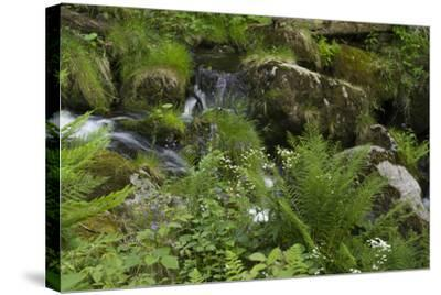 Ferns, Mosses, and Wildflowers Growing around Kleine Ohe Creek-Norbert Rosing-Stretched Canvas Print