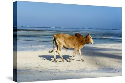 A Domestic Bull Walking Along a White Sand Beach on a Tropical Island at Low Tide-Jason Edwards-Stretched Canvas Print