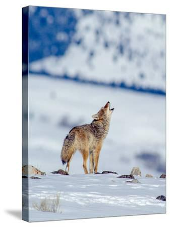 A Coyote Howls in a Winter Landscape-Tom Murphy-Stretched Canvas Print