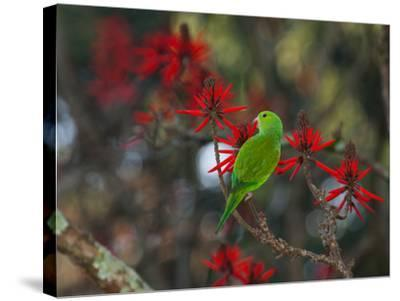A Plain Parakeet, Brotogeris Tirica, Resting and Eating on a Coral Tree-Alex Saberi-Stretched Canvas Print