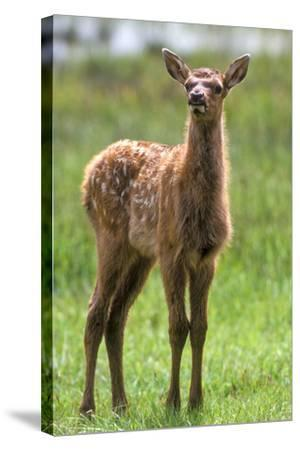 A Curious Elk Calf Chewed its Cud, and Shoos the Flies Away by Wiggling its Ears-Tom Murphy-Stretched Canvas Print