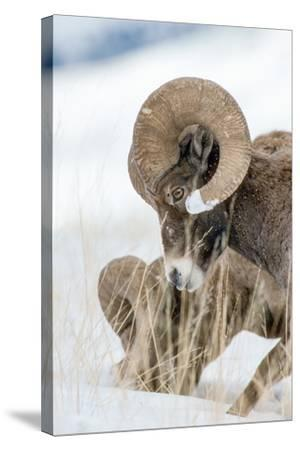 Two Bighorn Rams Digging for Grass Use their Front Feet to Push Away Snow with a Circular Motion-Tom Murphy-Stretched Canvas Print