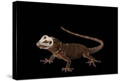 Giant Hispaniolan Galliwasp, Celestus Warreni, Shedding Skin at the Omaha Zoo-Joel Sartore-Stretched Canvas Print