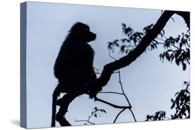 The Silhouette of an Olive Baboon Sitting on the End of a Branch in a Tree before Dawn-Jason Edwards-Stretched Canvas Print