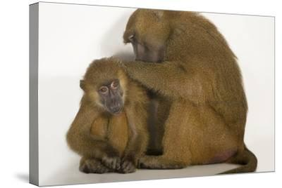 A Pair of Guinea Baboons, Papio Papio, at the Indianapolis Zoo-Joel Sartore-Stretched Canvas Print