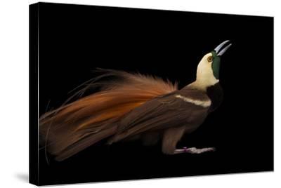 A Raggiana Bird-Of-Paradise, Paradisaea Raggiana, at the Cincinnati Zoo-Joel Sartore-Stretched Canvas Print